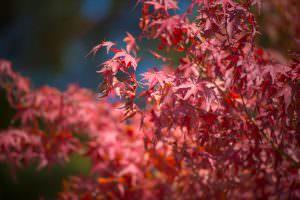 辰野町にも真っ赤に染まったもみじが秋の到来を告げてくれています。
