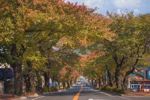 桜並木も秋の色に色づいています。