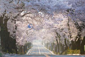 春が来ました。見事な桜並木のトンネルが完成です。