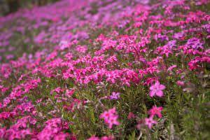 春の訪れを祝うように、いっせいに鮮やかな色へと染まります。