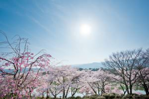 荒神山公園にて。桜が見事に咲いています。
