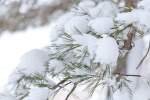ピンと強くたくましく雪を背負っています。