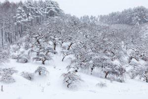 天然記念物シダレクリがみなお揃いの雪ぼうしをかぶっています。